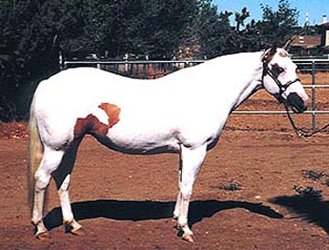 Eyes a Diamond Miss, aka: Nuggets, a predominately white palomino tovero, and our own top broodmare